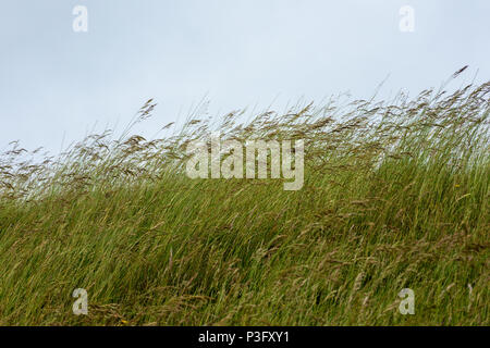 Tall grasses waving in the wind on a hill side of an iron age hill fort against a grey sky - Stock Image