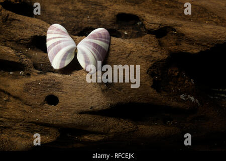 Coquina shells collected from the beach at the end of the Fort Morgan peninsula, Alabama. - Stock Image