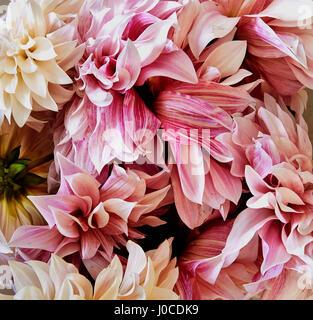 Chrysanthemums, full frame - Stock Image