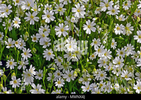 Greater Stitchwort in abundance on the clifftop paths of the North Yorkshire coast near Scarborough. - Stock Image
