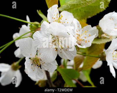 Close up of white single flowers of the wild cherry tree, Prunus avium, in early spring bloom against a black background - Stock Image