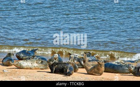 PORTGORDON BEACH MORAY SCOTLAND GROUP OF COMMON SEALS LYING ON THE SAND AND SUNBATHING - Stock Image