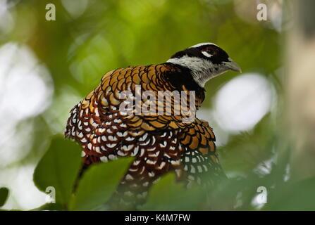 Reeves's pheasant (Syrmaticus reevesii) - Stock Image