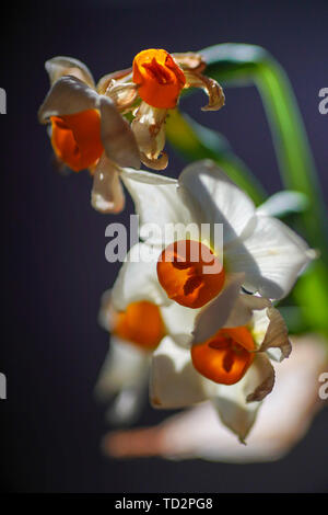 Selective focus of Daffodil flowers (Narcissus tazetta) in a garden - Stock Image
