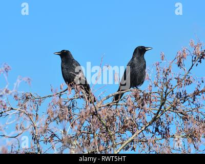 Two crows sitting back to back on a tree at the beginning of spring in Scotland, UK - Stock Image