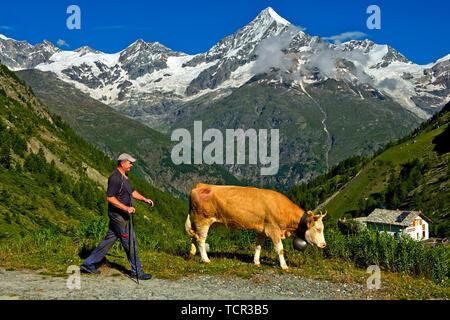 Mountain farmer with cow at the Täschalp mountain pasture, Weisshorn peak behind,Täsch, Taesch, Valais, Switzerland - Stock Image