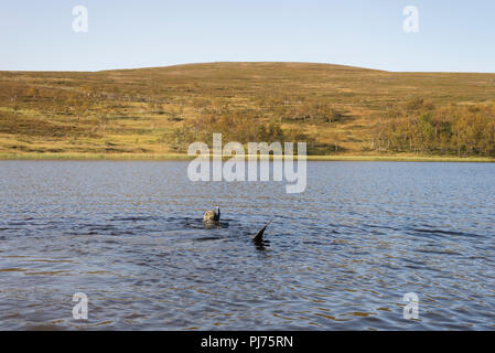 One guy free diving snorkeling with dry suit in a lake at the arctic mountain in Finnmark, Norway. - Stock Image
