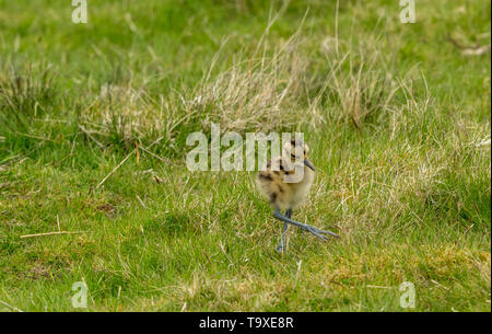 Curlew chick, Scientific name: Numenius arquata) newly hatched curlew chick on a Grouse Moor in Yorkshire.  Ground nesting birds are very vulnerable - Stock Image