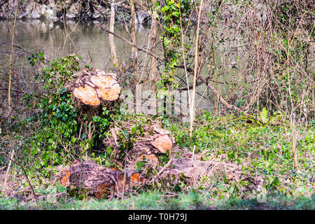 Stump of a recently felled tree with 2 trunk cross sections and many ivy stalk cross sections. The trunk lies in sections with more ivy (Hedera helix) - Stock Image