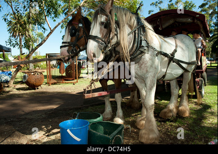 a pair of Draught Horses hitched to a wagon, resting in the shade - Stock Image