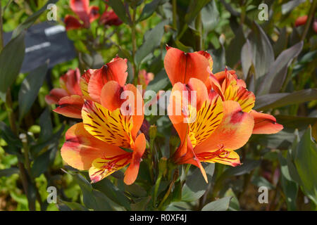 Colourful flower border with a close up of Alstromeria 'Indian Summer' - Stock Image