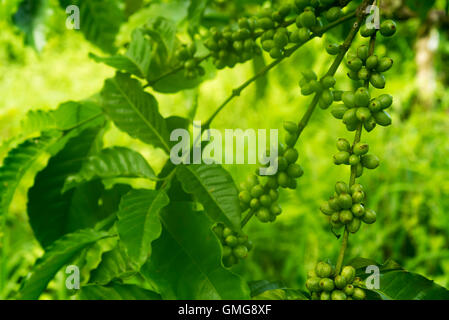 Green coffee beans on the tree branch - Stock Image