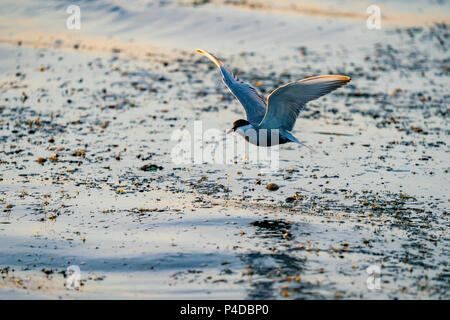 White-cheeked Tern fishing in Danube Delta, Romania. Tern in flight over water at sunrise - Stock Image