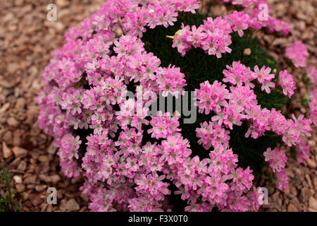 Armeria juniperifolia 'Brookside' close up of flowers - Stock Image