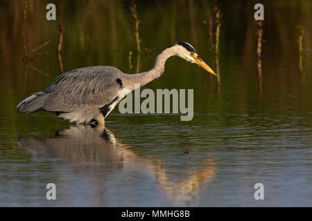 Grey Heron (Ardea cinerea) fishing near the shore of a freshwater lake - Stock Image