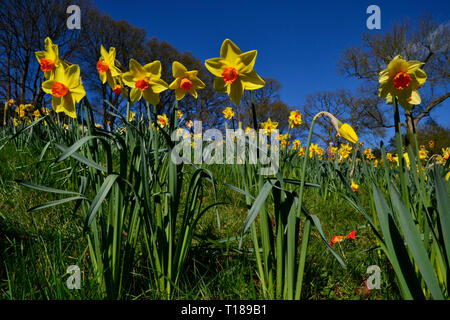 Waddesdon, Buckinghamshire, UK. 24th Mar 2019. Waddesdon Manor's Daffodil Valley Credit: Susie Kearley/Alamy Live News - Stock Image