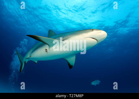 Caribbean Reef Shark (Carcharhinus perezi) from Below, against Surface. Tiger Beach, Bahamas - Stock Image