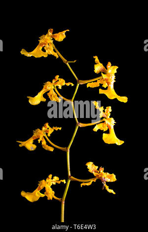 yellow orchid macro on black background - Stock Image