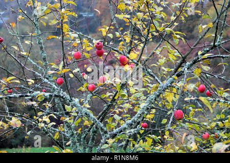 Red crabapples growing on a crabapple tree with branches covered in lichen in November in rural Wales UK  KATHY DEWITT - Stock Image