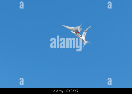 Arctic Tern - sterna paradisaea - courtship display - Stock Image