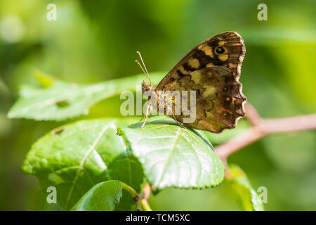 Side view of a speckled wood butterfly, Pararge aegeria. Resting on a leaf in a forest with wings open - Stock Image