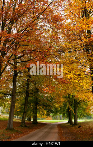 A road through an avenue of beech trees (Fagus sylvatica) in their autumn colours at Studley Royal, Ripon, North - Stock Image