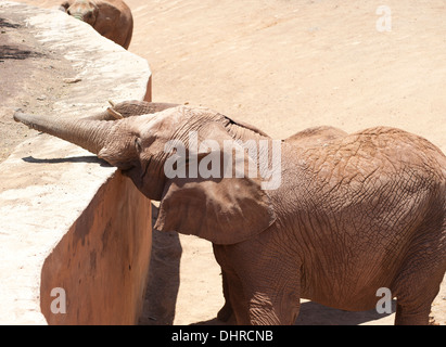 baby elephant at wall - Stock Image