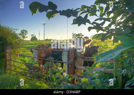 Inquisitive cattle in front of Swinford Wind Farm (near Rugby), half an hour after sunrise on a late summer morning. - Stock Image