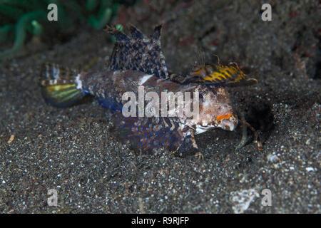 Fingered dragonet (dactylopus dactylopus) feeding on the sea floor in Lembeh Straits, Indonesia. - Stock Image
