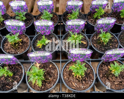 Plant nursery display of young flower plants in a greenhouse in early spring,   Isotoma Fizz n pop Purple  for later sale as bedding plants - Stock Image