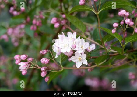 Deutzia flowers. - Stock Image