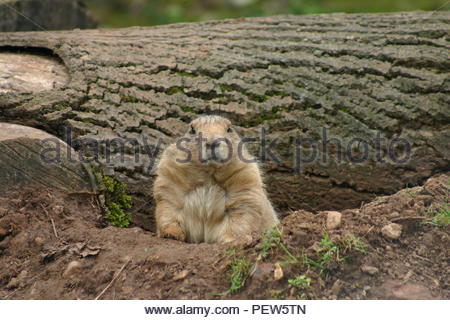 Prairie dog looking forward out of its burrow with a fallen tree in the background. - Stock Image
