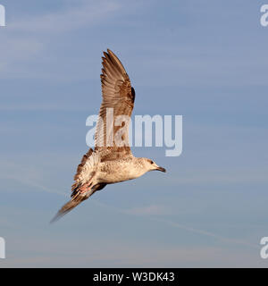 Seagull in Rome - Stock Image