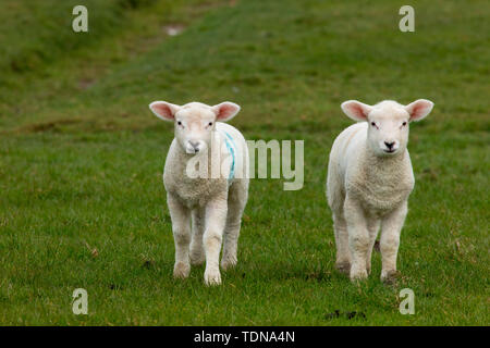 Domestic Sheep, lambs at deik, Nordstrand, Schleswig-Holstein, Germany - Stock Image