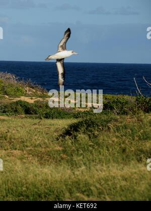 Albatross Nesting Ground near Ka'ena Point, Oahu Hawaii - Stock Image
