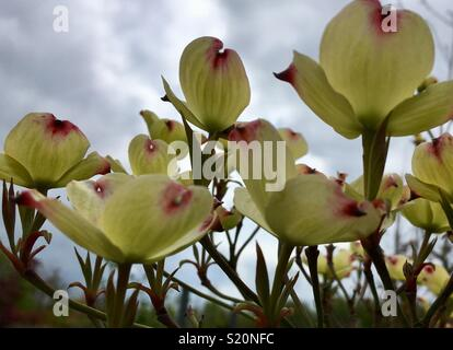 Close up of Cornus Flo Cloud Nine, creamy white flowers with pink hints - Stock Image