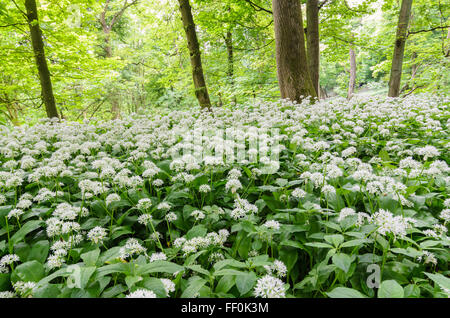 Wild Garlic (Allium Ursinum) growling in woodland in Hertfordshire, England, UK. - Stock Image