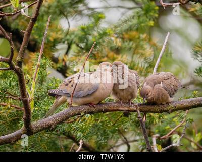 Mourning dove (Zenaida macroura) parent feeding crop milk to fledgling. - Stock Image