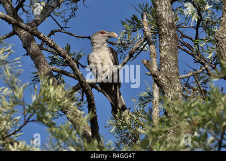 An Australian, Queensland Channel-billed Cuckoo ( Scythrops novaehollandiae ) perched on a tree branch in thick bush - Stock Image