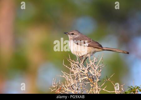 Portrait of a northern mockingbird. - Stock Image