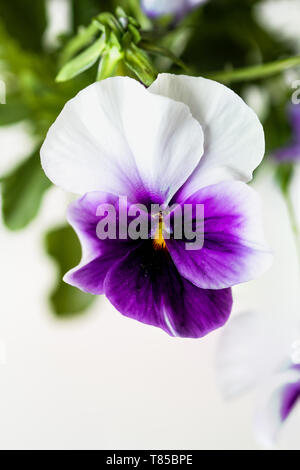 Purple and white potted Pansy, also know as Viola tricolor variety hortensis, blossom with blurred background. Spring and Autumn annual garden plant. - Stock Image