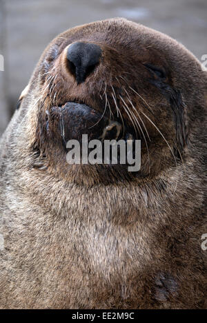 A Cape fur seal (Brown fur seal, South African fur seal), at Kalk Bay Harbour, Cape Peninsular, Cape Town South - Stock Image