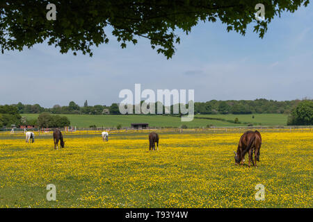 Horses grazing in field of buttercups - Stock Image