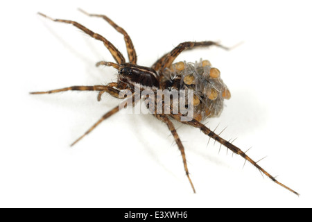 Female Pin-stripe wolf-spider (Pardosa monticola), part of the family Lycosidae - Wolf spiders. Carrying spiderlings - Stock Image