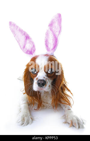 Cute easter bunny dog with rabbit ears. Happy Easter Holiday Cavalier king charles spaniel dog studio photos. Easter - Stock Image