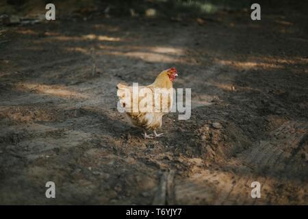 Buff Orpington chicken in dirt driveway in northwestern Wisconsin - Stock Image