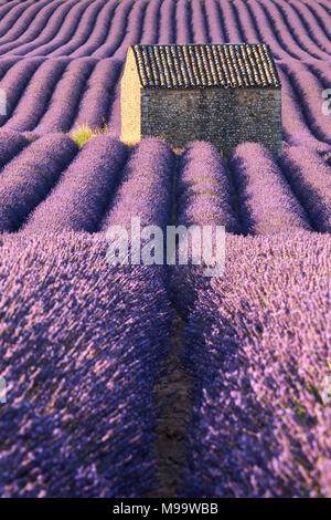 Lavender fields in Valensole with stone house in morning Summer light. Valensole Plateau, Alpes-de-Haute-Provence, France - Stock Image
