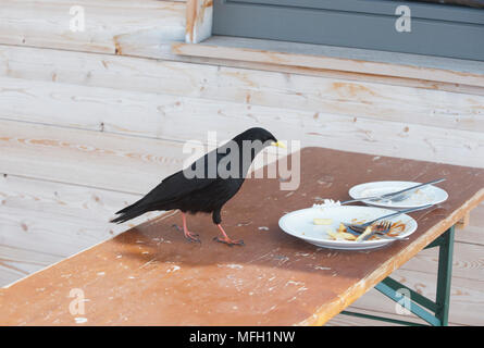Alpine Chough or Yellow-Billed Chough, (Pyrrhocorax graculus), scavenge food scraps in a ski resort, Bavaria, German Alps - Stock Image