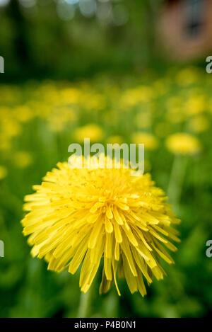 Bright yellow flowering dandelion, Dore Lake, Saskatchewan, Canada - Stock Image