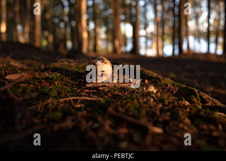 Young Mushroom growing in woods of Canada - Stock Image